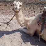 Экскурсия катание на верблюдах и лошадях в Хургаде